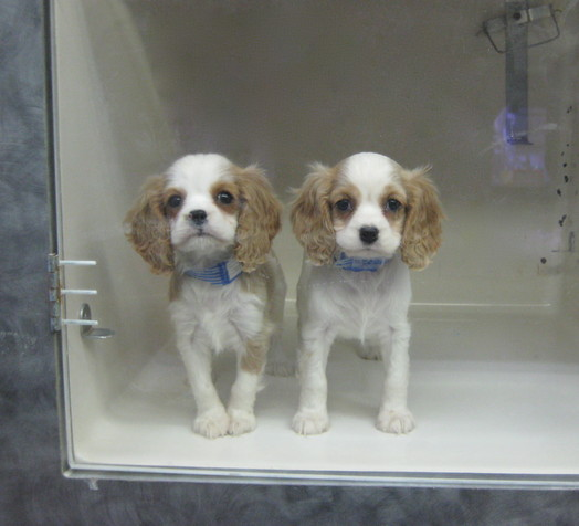 Can Pet Store In Boston Sell Puppy Mill Dogs